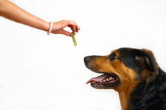 Girl feeding the dog a treat Stock Image