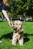 Girl feeding dog. Young purebred American cocker spaniel sitting on green lawn in a park. Woman training her dog Royalty Free Stock Image