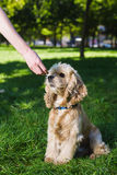 Girl feeding dog. Young purebred American cocker spaniel sitting on green lawn in a park. Woman training her dog Royalty Free Stock Photo