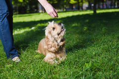 Girl feeding dog. Young purebred American cocker spaniel sitting on green lawn in a park. Woman training her dog Stock Photos