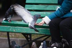 Girl feeding doves Royalty Free Stock Photo
