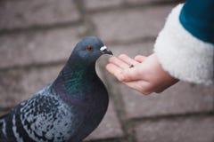 Girl feeding doves Stock Image