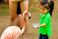 A girl feeding a flamingo Stock Photography