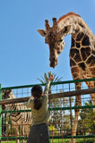 Girl Feeding Giraffe Stock Image