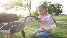 Girl feeding goose but goose attack and plucked her Royalty Free Stock Image