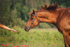 Girl feeding a horse hay stock images