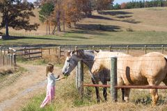 Girl Feeding Horses. In pasture Stock Image