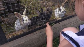 Girl feeding rabbits. In summer day stock video footage