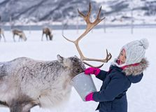 Girl feeding reindeer in the winter royalty free stock photography