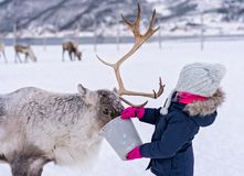 Girl feeding reindeer in the winter royalty free stock images