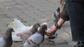 Girl feeding rock doves stock footage