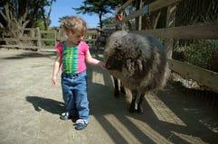 Girl feeding sheep 2 Royalty Free Stock Images