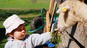 Girl feeding sheep. A cute little girl feeding a sheep Royalty Free Stock Photo