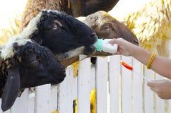 Girl feeding a sheep Royalty Free Stock Image