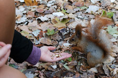 Girl feeding a squirrel autumn. Girl feeding squirrel nuts autumn Royalty Free Stock Image