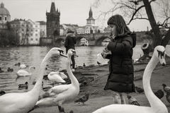 Free Girl Feeding Swans In Prague Royalty Free Stock Photography - 88647877