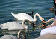 Girl feeding swans Royalty Free Stock Photography