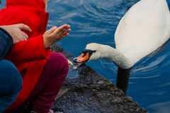 Kid feeding white swan from hand in city park, swan on water.feed a birds in park,shore of a lake. swans swimming in a stock image