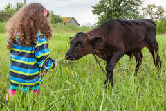 Girl feeds the calf grass Royalty Free Stock Image