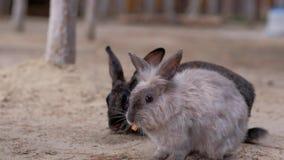 Girl feeds a carrot rabbit. 4k stock video