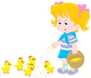 Girl feeds chicks. Little girl feeding small yellow chickens Stock Image