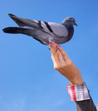 Girl feeds the dove. Royalty Free Stock Images
