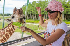 Girl feeds a giraffe Stock Photos