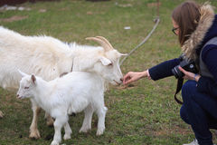 Girl feeds a goat at the yard.  Stock Images