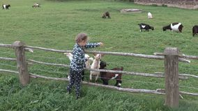 Girl feeds the goats in the enclosure. In summer day stock footage
