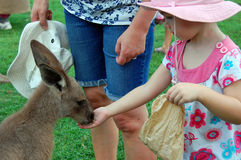 Girl feeds kangaroo. Feeding kangaroo, Lone Pine Koala Sancuary park near Brisbane, Australia Royalty Free Stock Photo