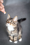 Girl feeds a kitten Royalty Free Stock Photography