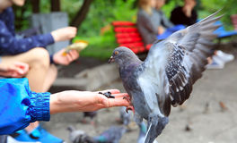 The girl feeds pigeons in the park Stock Photography