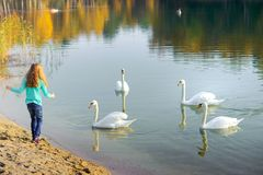 The girl feeds the swans on the beach. Happy girl walks on the lake, plays and feeds swans Stock Photography