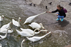 Girl feeds swans on lake Royalty Free Stock Images