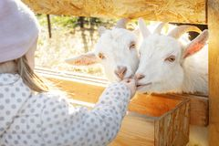 Girl feeds two white goats with a cabbage leaf stock photo