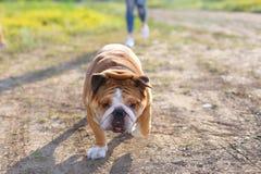Girl female playing with friend american bulldog running Stock Photo