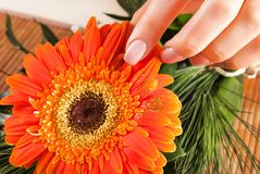 Girl finger with beige natural nails color on big Gerbera orange flower. Close up, selective focus. Nails Manicure concept image royalty free stock images