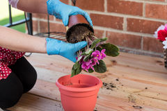 Girl with flowerpot replant flower of african violet. Girl replant flowers of violet in a large pot on the balcony in the spring of the big city Stock Photography