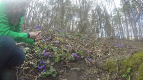 Girl gather hepatica on edge of forest on sunny early spring. 4K stock video footage