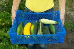The girl gathered courgettes, put in a blue plastic box and carries them into the house. The garden bed of zucchini. Healthy food. stock photos