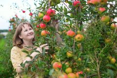 Girl gathering apples on a farm Stock Photo