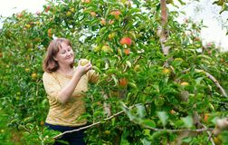 Girl gathering apples on a farm Royalty Free Stock Photos