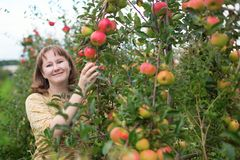 Girl gathering apples on a farm Royalty Free Stock Image