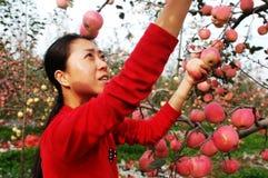 Girl Gathering Fresh Apples Royalty Free Stock Photos