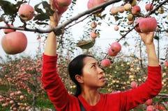 Girl gathering fresh apples Royalty Free Stock Photo
