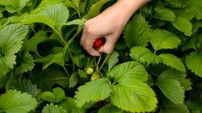 Girl gathers strawberry. stock video