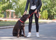 The girl gives commands to the dog, the dog is trained. Young girl gives commands to a dog, trains a dog in the park Stock Images