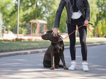 The girl gives commands to the dog, the dog is trained. Young girl gives commands to a dog, trains a dog in the park Stock Photography