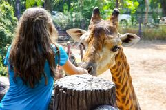 A girl giving food to a tallest giraffe in the zoo stock photo
