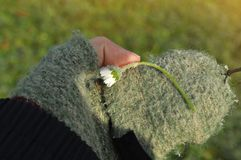 Girl with glove, hand holding a beautiful white Daisy on the blurred green background stock photography